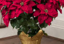 Poinsettia for music boosters